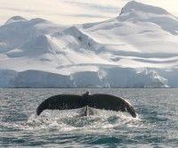Concentración récord de ballenas en la Antártica