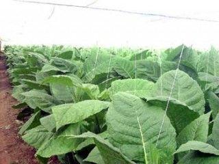 Mayor productora tabacalera de Cuba entra en fase crucial de recolección