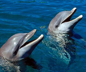 Unusual Sighting of Gray Dolphins in Cuban Bay