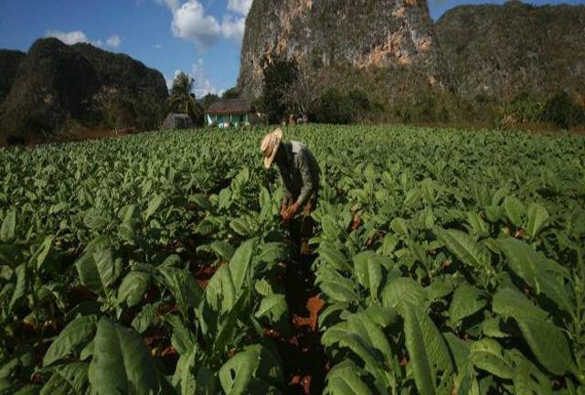 La Mesa Redonda de este viernes se realizó en Pinar del Río para conocer del proceso de recuperación de la producción tabacalera en el territorio más occidental del país, donde se cultivan las hojas para producir el mejor tabaco del mundo.