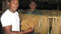Yoenis prepara el sembrado de tabaco en Cuba