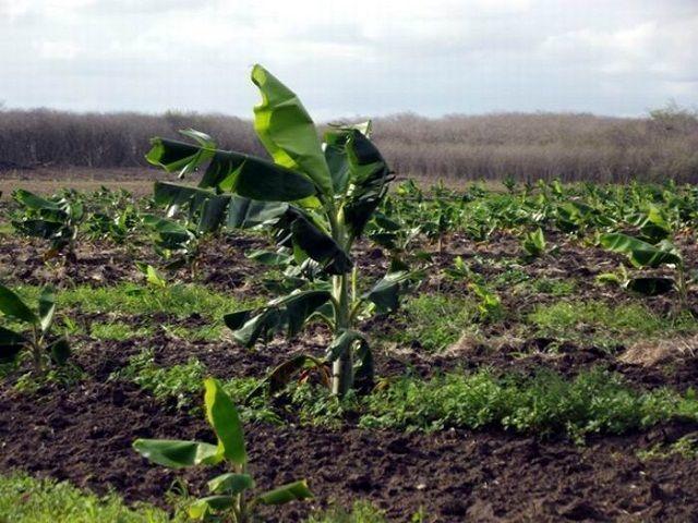 Se fomentan cultivos de plátano y otras viendas y granos en tierras antes ociosas en Camagüey. Foto: Miozotis Fabelo