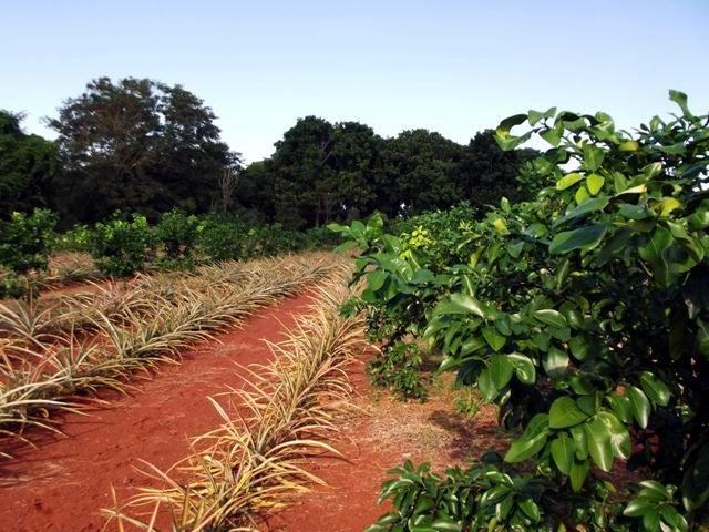 Se intercalan cultivos en campos de cítricos. Foto: Miozotis Fabelo