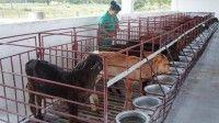 En el empeño de diversificar la producción, sigue siendo la ganadería el centro de la agricultura en Camagüey.