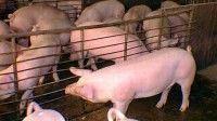 Más de 200 expertos de 16 países debaten sobre genética y reproducción de cerdos