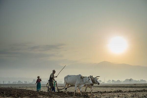 Un granjero y su esposa usan un par de bueyes para arar su campo en el distrito de Surkhet, al oeste de Nepal. Foto: IFAD/Sanjit Das.